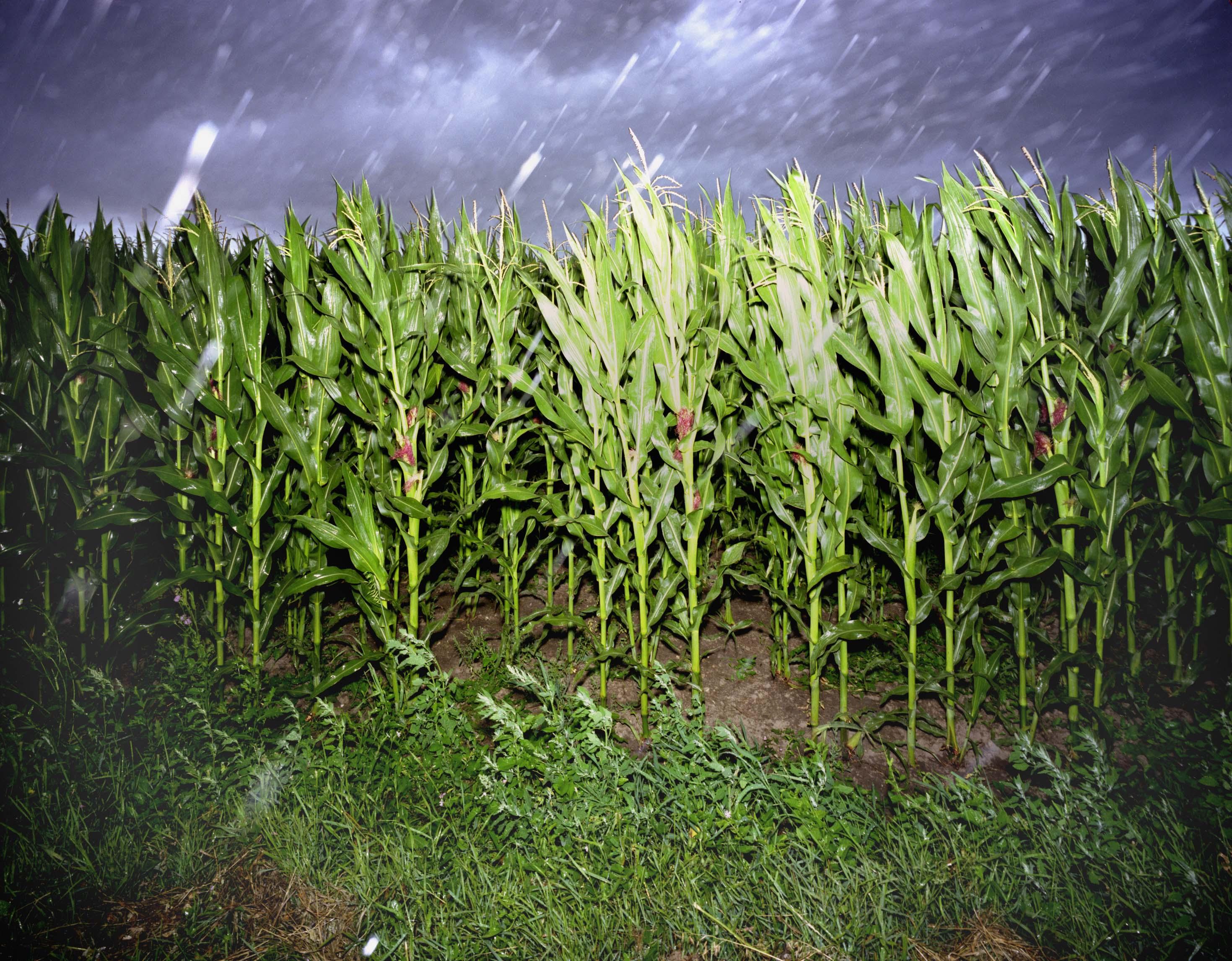 Dest a kukurice